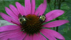 Vid062 two bees on flower Stock Footage