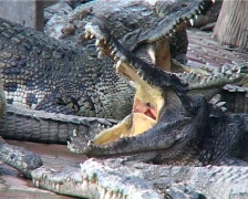 Crocodile Sleeping With Mouth Wide Open Stock Footage