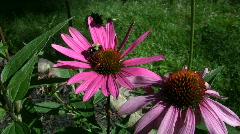Vid060  bee on flower Stock Footage