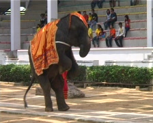 Thai elephant walking on his hind legs Stock Footage