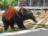 Dancing Elephant Stock Footage