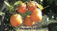 Orange Tree #1 (Close-up; HD) Stock Footage