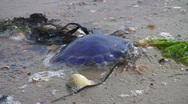 Stock Video Footage of Stranded jellyfish on beach