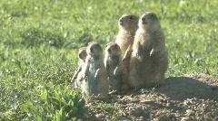 P00402 Prairie Dog Family Stock Footage