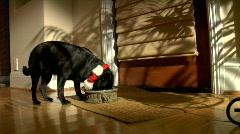 Christmas Pug eats dinner - stock footage
