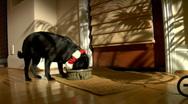 Christmas Pug eats dinner Stock Footage