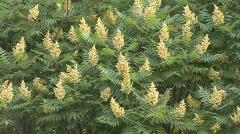 P00406 Sumac Flowers Stock Footage