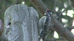 P00408 Yellow-bellied Sapsucker Stock Footage