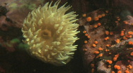 Stock Video Footage of Yellow Sea Anenome