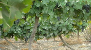 Vineyard grapes pan 3 Stock Footage