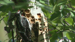 P00411 Red-naped Sapsucker at Birch Tree Stock Footage