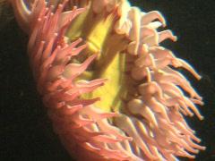 Pink Sea Anemone CU Stock Footage