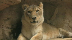 HD Stock Footage -Female Lion Close-up Wink - stock footage
