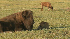 P00420 Bison Cow and Calf Resting in Spring Stock Footage