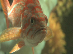 Rock Fish CU Stock Footage