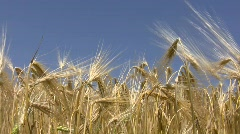 Wheat crop. Stock Footage