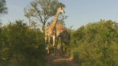 Safari Kruger Park Giraffe  Stock Footage