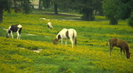 Horses grazing in yellow field Stock Footage