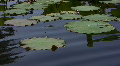 Lotus leaves floating on pond 2 Loop Footage