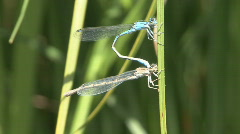 P00423 Damselflies Mating Stock Footage