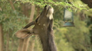 Stock Video Footage of Safari Kruger Park Nyala 01