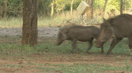 Stock Video Footage of Safari Kruger Park Warthog