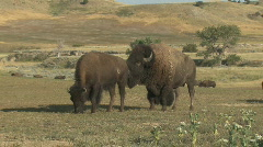 P00425 Bison Bull and Cow Stock Footage