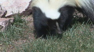 Stock Video Footage of P00427 Striped Skunk Feeding