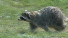 P00428 Raccoon Walking - stock footage
