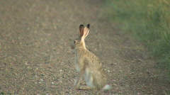 P00432 White-tailed Jackrabbit - stock footage