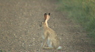 Stock Video Footage of P00432 White-tailed Jackrabbit