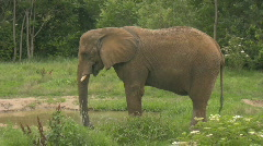 HD Stock Footage -African Elephant  Stock Footage