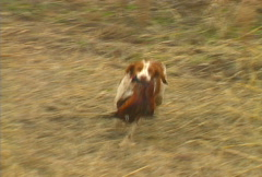 Pheasant Hunting 07 Stock Footage