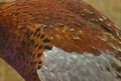 Pheasant Hunting 09 Stock Footage
