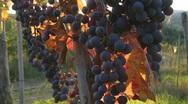 Wine grapes, Tuscany, Italy Stock Footage