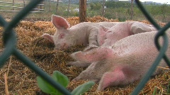 Happy pigs sleeping in straw Stock Footage