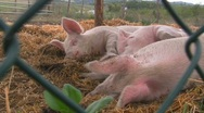 Stock Video Footage of Happy pigs sleeping in straw