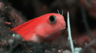 Stock Video Footage of Blenny HD