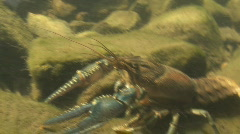 P00440 Crayfish in Stream Stock Footage