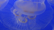 Stock Video Footage of JellyFish MS group swimming