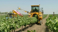 Stock Video Footage of vineyard mechanical picking 4