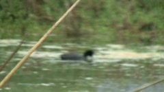 American Coot Swimming And Feeding In Marsh Stock Footage