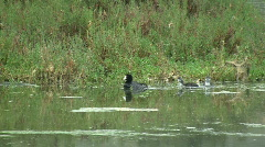 American Coots Swimming in Marsh Stock Footage