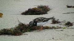 Ruddy Turnstone Feeding On Beach Stock Footage