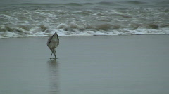 Willet Feeding On Beach Stock Footage