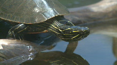 P00458 Painted Turtle Entering Water Stock Footage