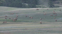 P00453 Elk Herd Grazing on Prairie Dog Town Stock Footage