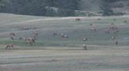 P00453 Elk Herd Grazing on Prairie Dog Town Stock Footage