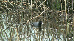 American Coot Vocalizing Stock Footage