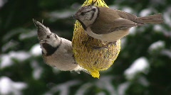 Pair of crested tits Stock Footage